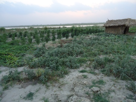 Photo: Farming in Sand deposited Soil after flooding in Koshi region. In the year 2008, the river changed course and flooded areas which had not been flooded in many decades. More than 1000 ha of cultivable land in the affected region were transformed into virtual desert due to sand deposition.